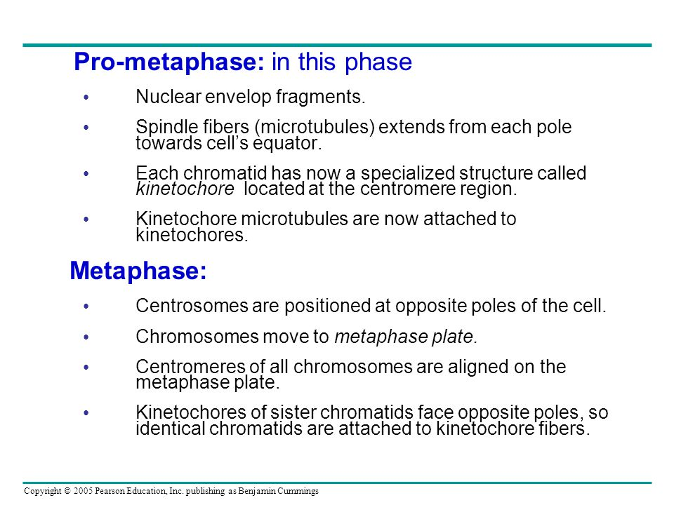 Pro-metaphase: in this phase