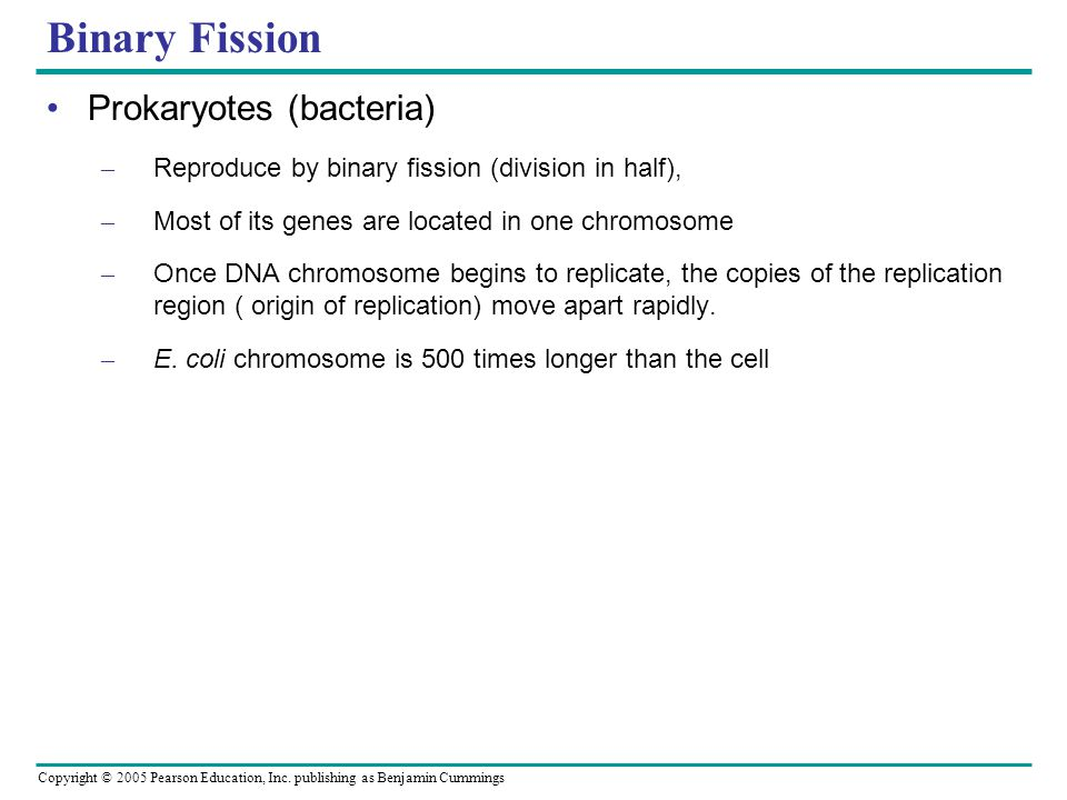 Binary Fission Prokaryotes (bacteria)