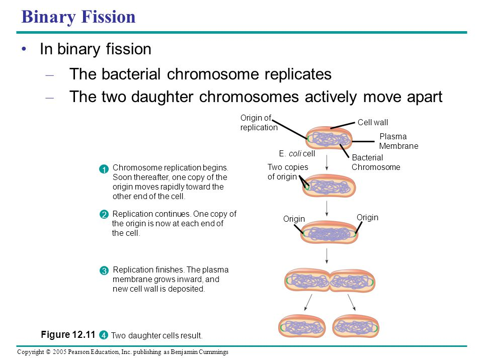 Binary Fission In binary fission The bacterial chromosome replicates