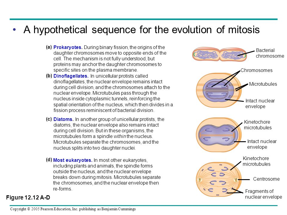 A hypothetical sequence for the evolution of mitosis