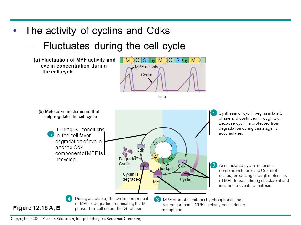 The activity of cyclins and Cdks Fluctuates during the cell cycle