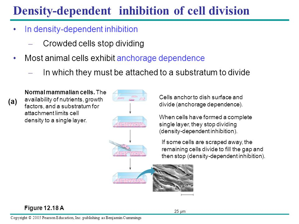 Density-dependent inhibition of cell division