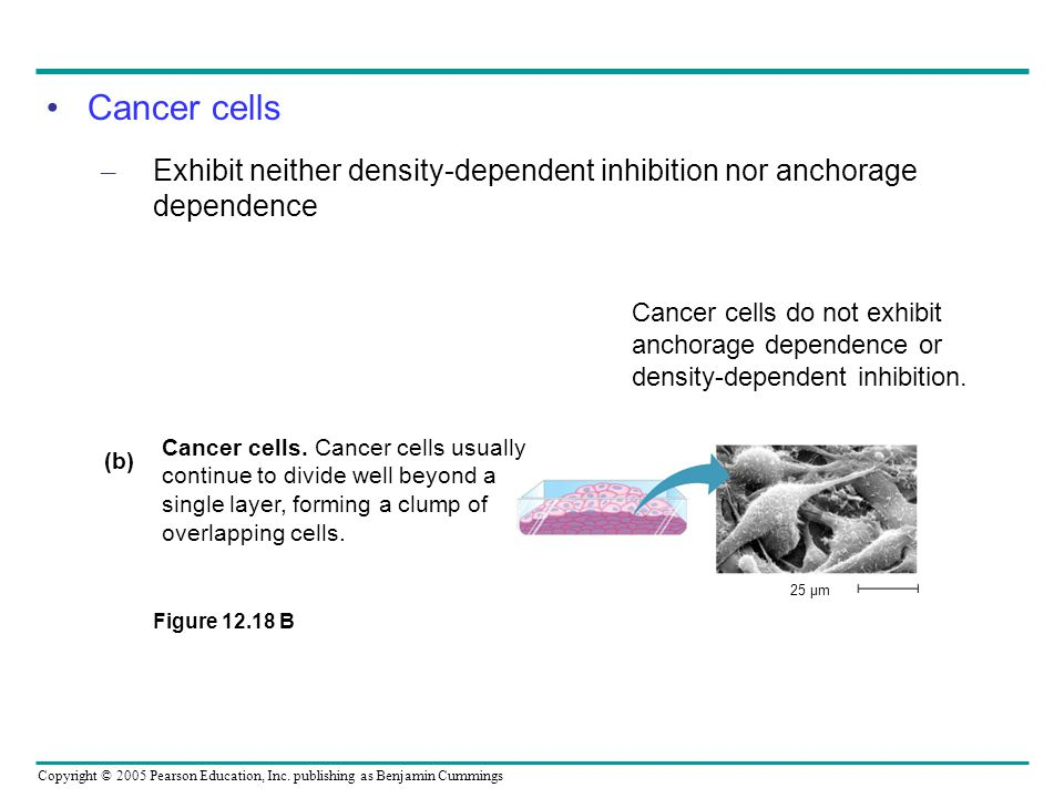 Cancer cells Exhibit neither density-dependent inhibition nor anchorage dependence.