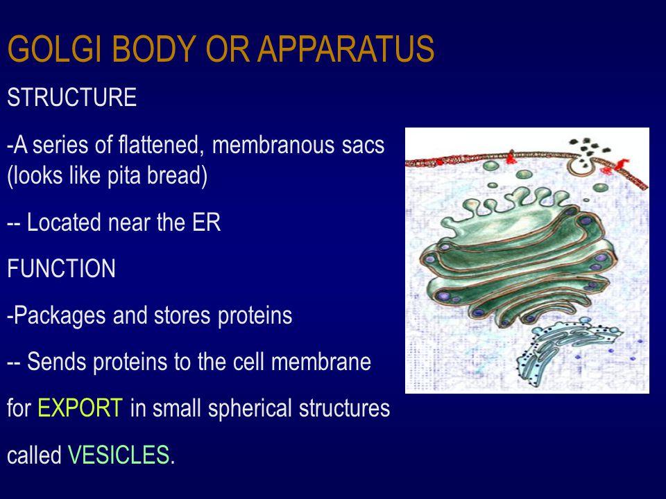 GOLGI BODY OR APPARATUS