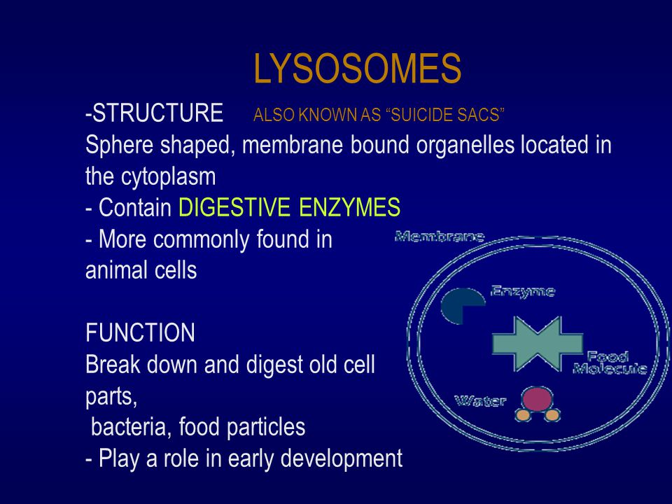 LYSOSOMES ALSO KNOWN AS SUICIDE SACS