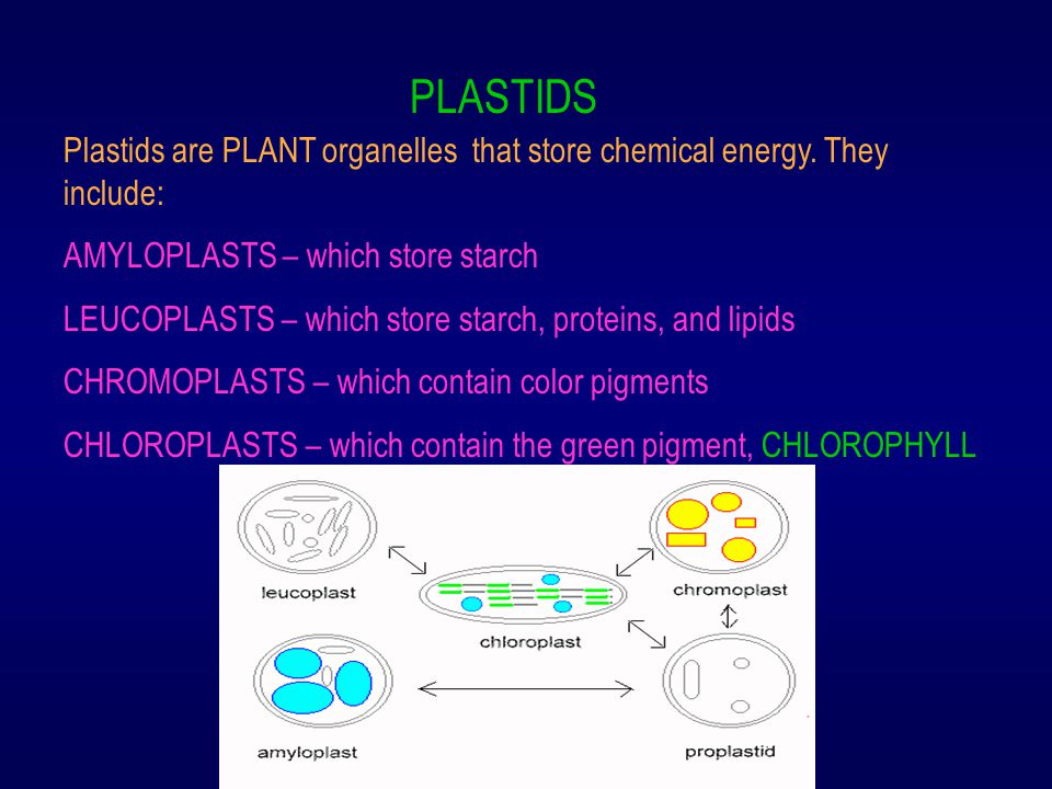 PLASTIDS Plastids are PLANT organelles that store chemical energy. They include: AMYLOPLASTS – which store starch.
