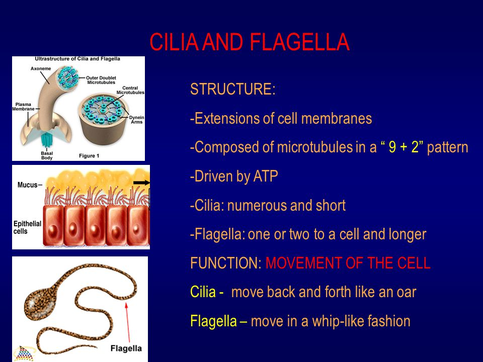 CILIA AND FLAGELLA STRUCTURE: -Extensions of cell membranes