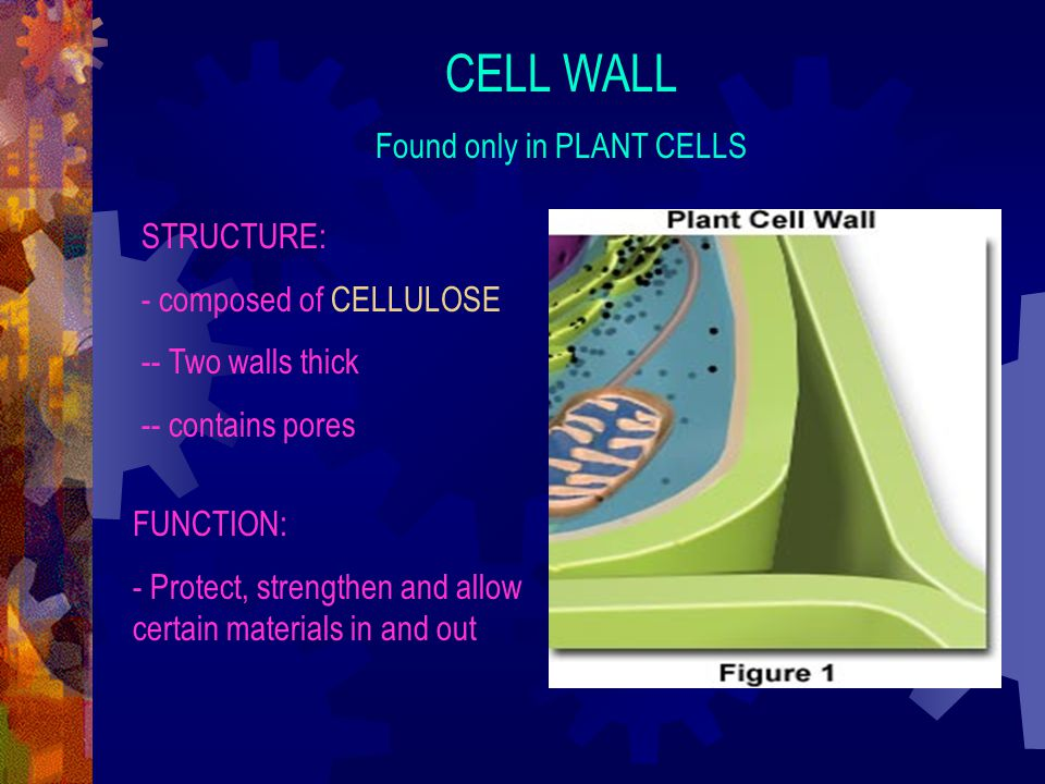 Found only in PLANT CELLS