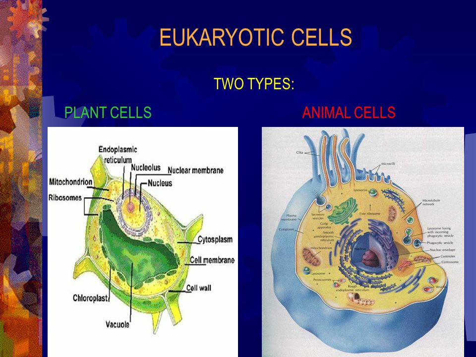 EUKARYOTIC CELLS TWO TYPES: PLANT CELLS ANIMAL CELLS
