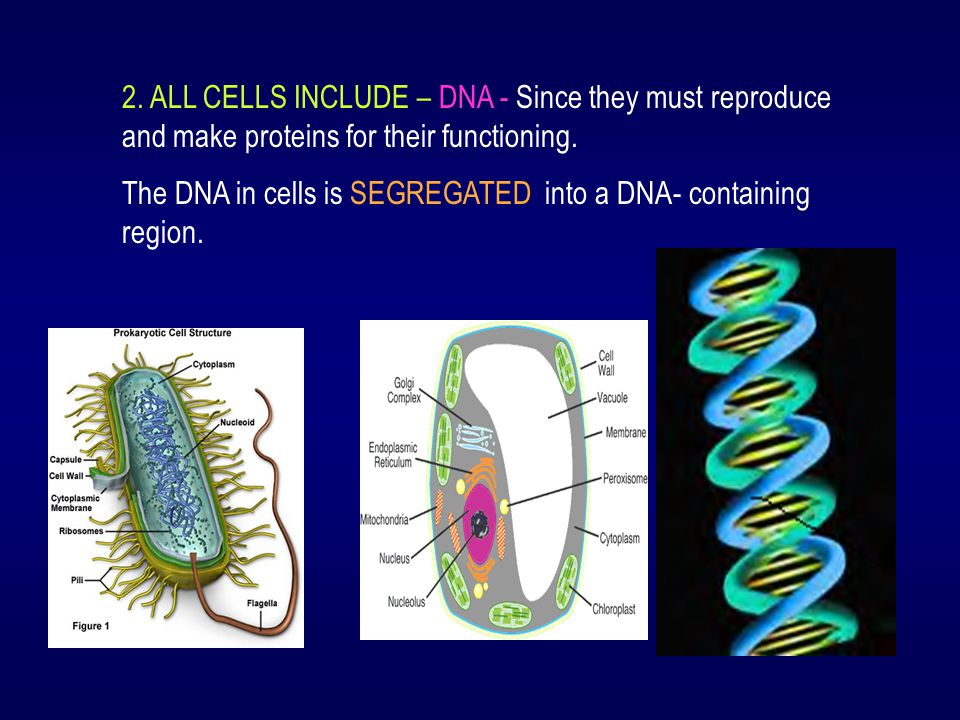 2. ALL CELLS INCLUDE – DNA - Since they must reproduce and make proteins for their functioning.