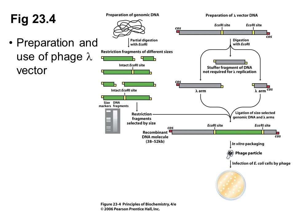 Fig 23.4 Preparation and use of phage l vector