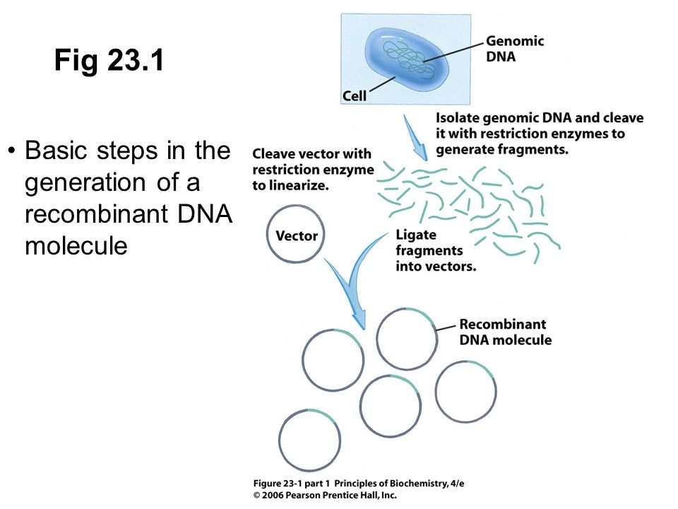 Fig 23.1 Basic steps in the generation of a recombinant DNA molecule