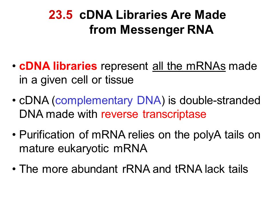 23.5 cDNA Libraries Are Made from Messenger RNA