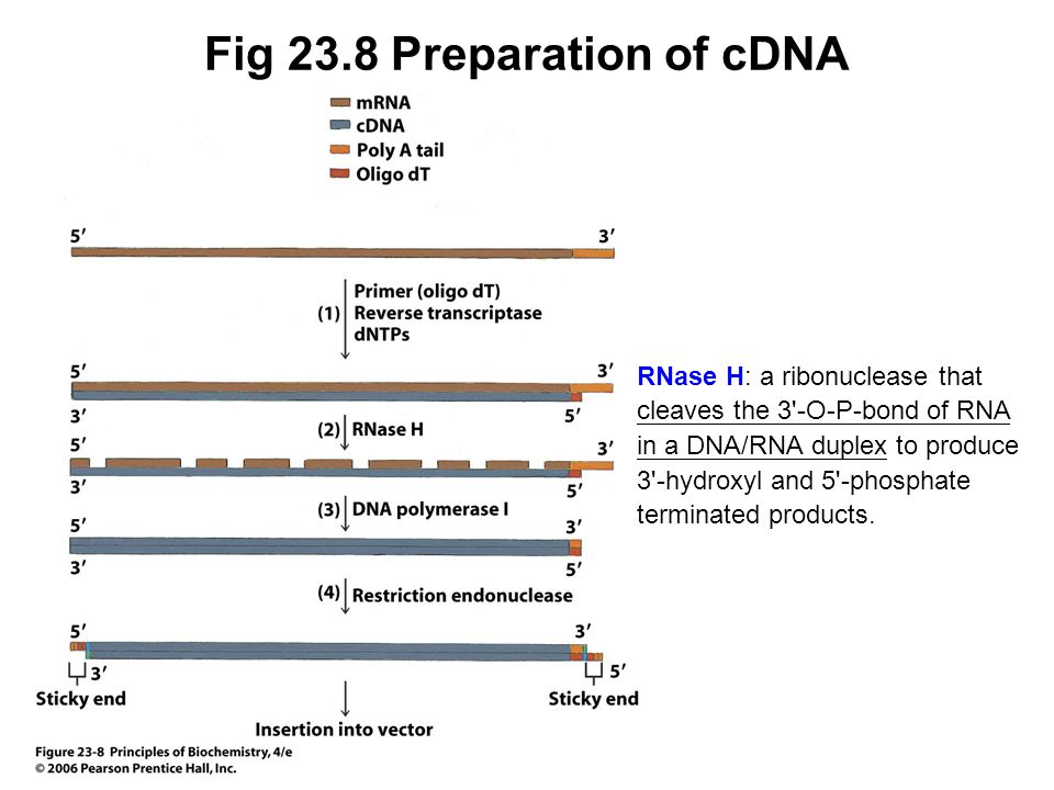 Fig 23.8 Preparation of cDNA