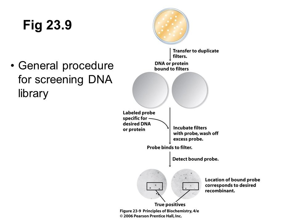 Fig 23.9 General procedure for screening DNA library