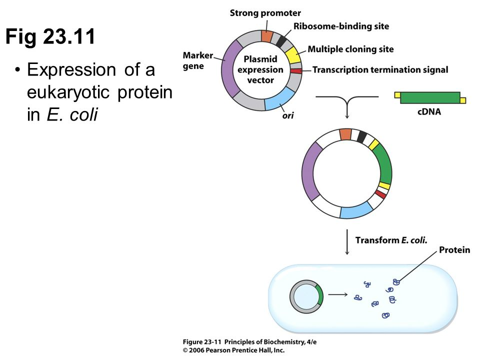 Fig 23.11 Expression of a eukaryotic protein in E. coli