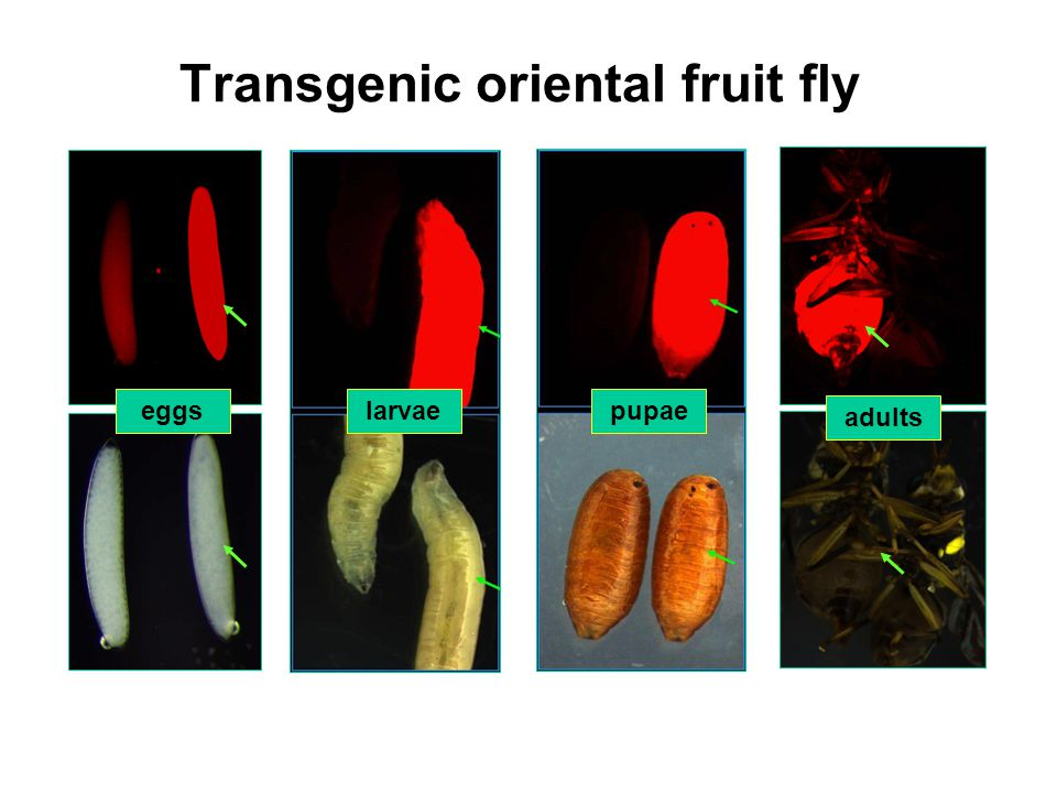 Transgenic oriental fruit fly