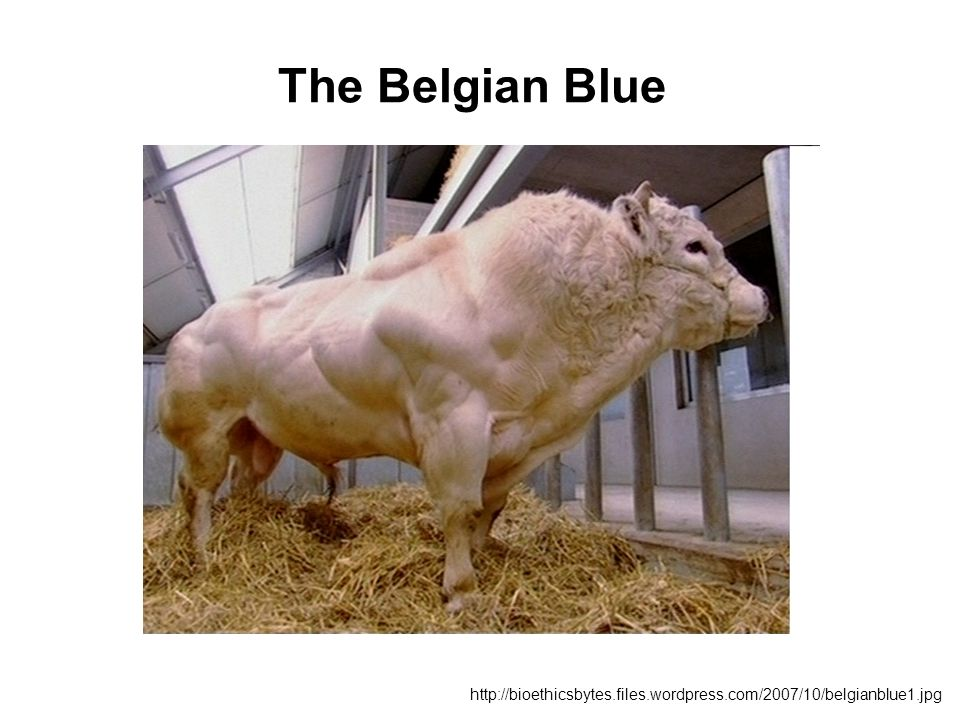 The Belgian Blue http://bioethicsbytes.files.wordpress.com/2007/10/belgianblue1.jpg