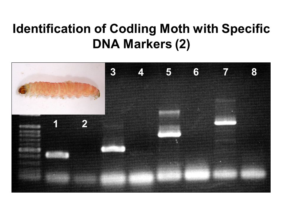 Identification of Codling Moth with Specific DNA Markers (2)