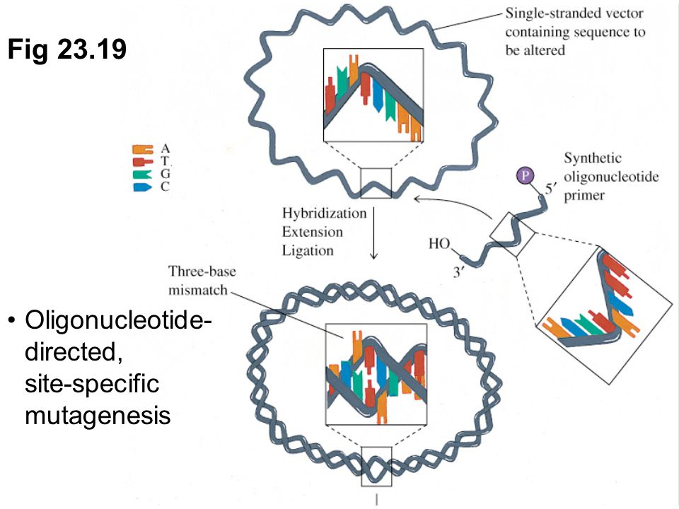 Fig 23.19 Oligonucleotide-directed, site-specific mutagenesis