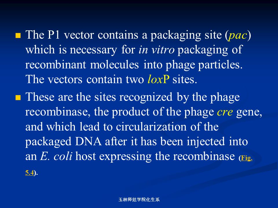 The P1 vector contains a packaging site (pac) which is necessary for in vitro packaging of recombinant molecules into phage particles. The vectors contain two loxP sites.