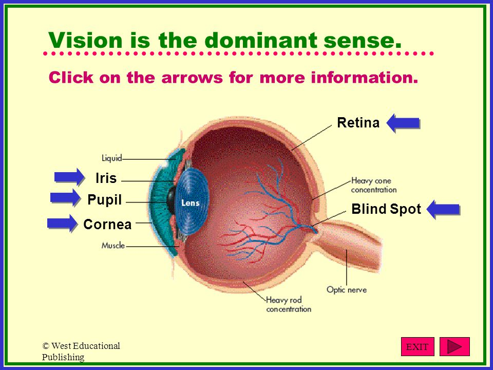 Vision is the dominant sense.