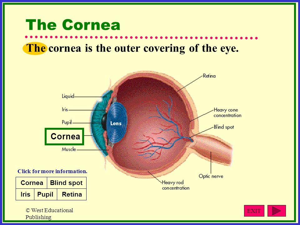 The Cornea The cornea is the outer covering of the eye. Cornea Cornea