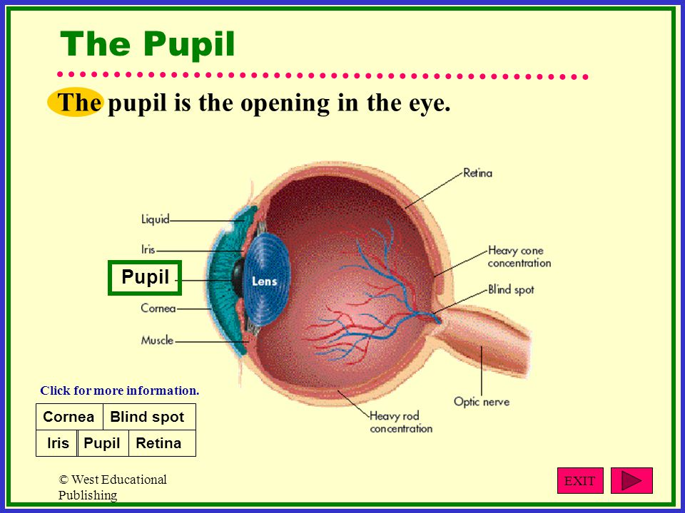 The Pupil The pupil is the opening in the eye. Pupil Cornea Blind spot