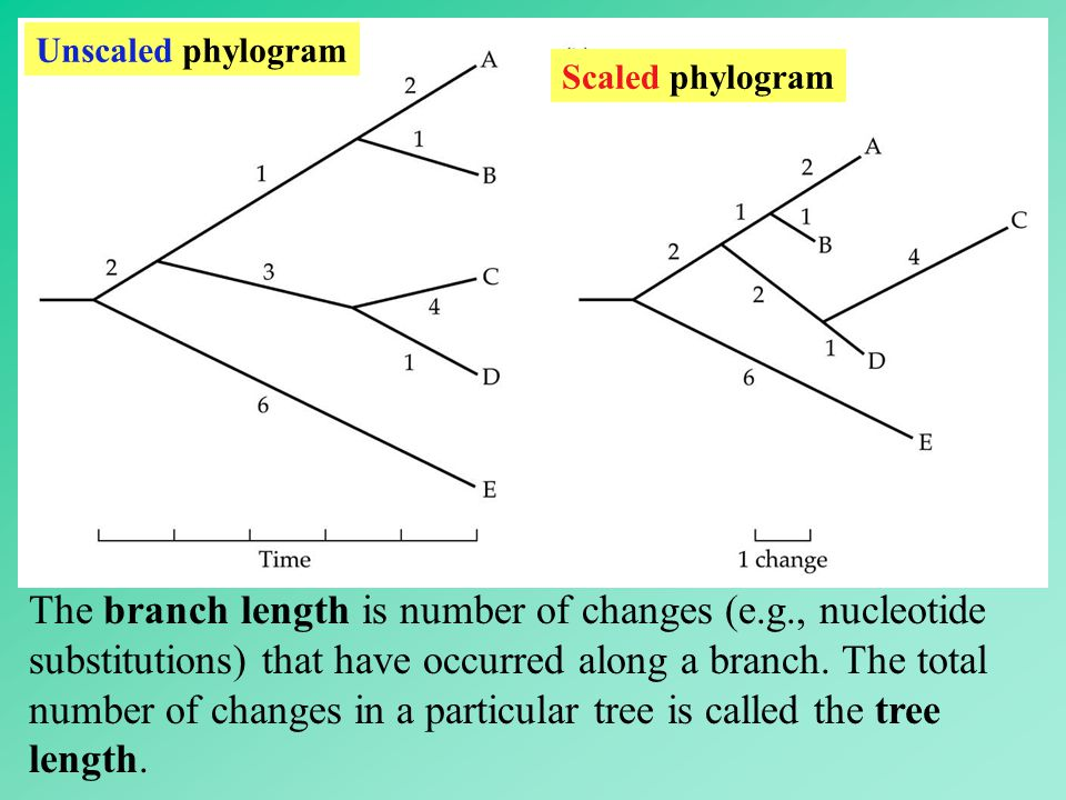 Unscaled phylogram Scaled phylogram.
