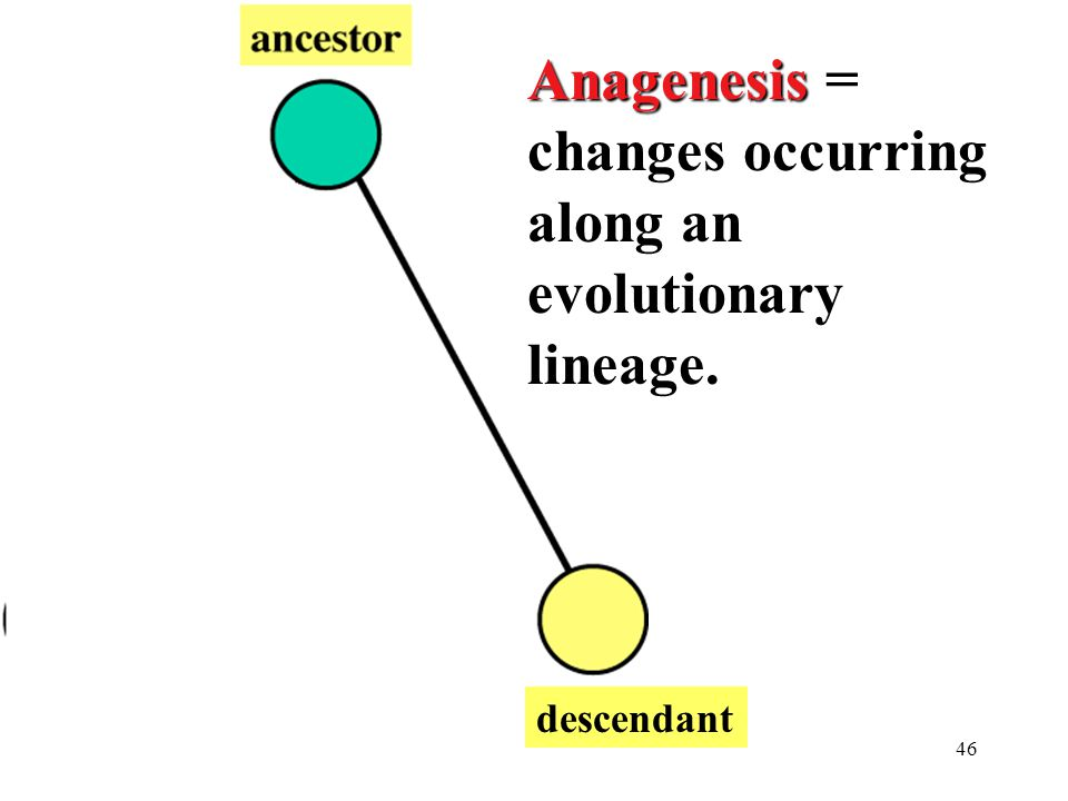 Anagenesis = changes occurring along an evolutionary lineage.