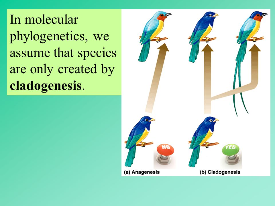 In molecular phylogenetics, we assume that species are only created by cladogenesis.