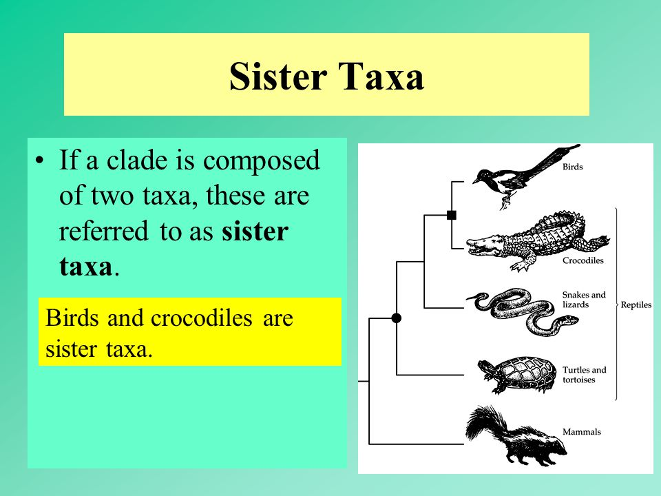 Sister Taxa If a clade is composed of two taxa, these are referred to as sister taxa.