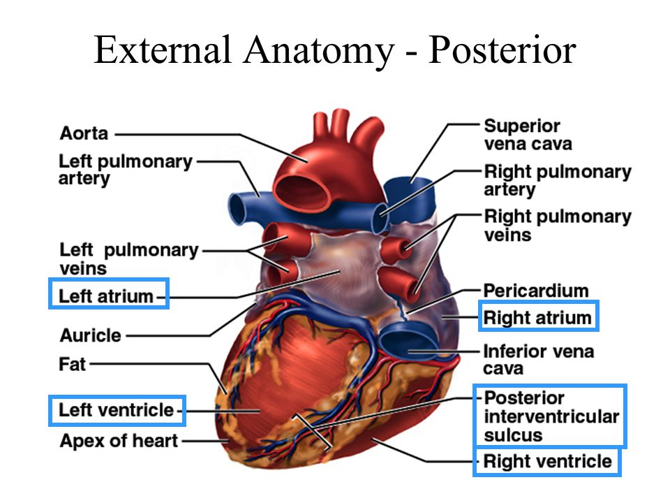 Beautiful Heart External Anatomy Photos - Human Anatomy Images ...