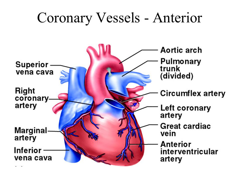 Chapter 19 The Heart Circulatory System Cardiovascular