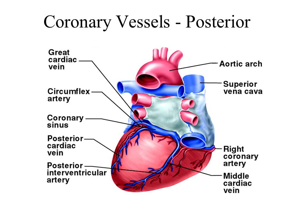 Coronary Vessels - Posterior