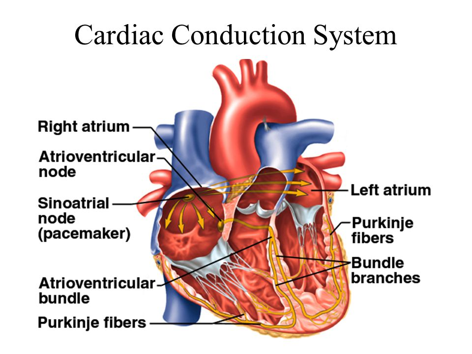Cardiac Conduction System Steps | Special Offers