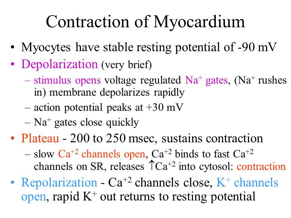 Contraction of Myocardium