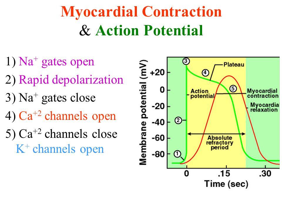 Myocardial Contraction & Action Potential