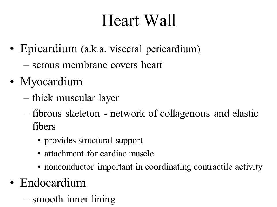 Heart Wall Epicardium (a.k.a. visceral pericardium) Myocardium