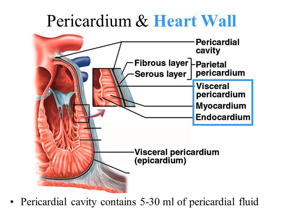 Pericardium & Heart Wall