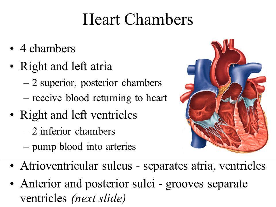 Heart Chambers 4 chambers Right and left atria
