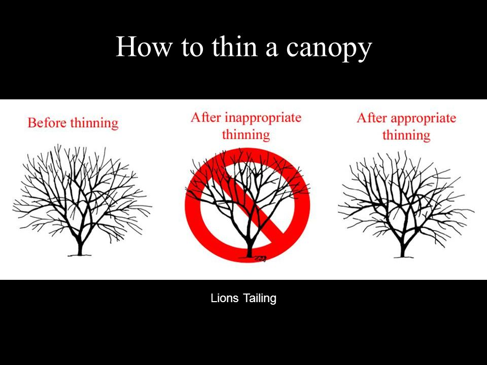 How to thin a canopy Lions Tailing