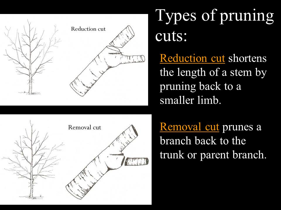 Types of pruning cuts: Reduction cut shortens the length of a stem by pruning back to a smaller limb.