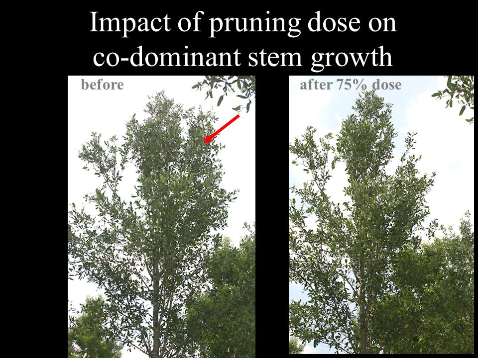 Impact of pruning dose on co-dominant stem growth