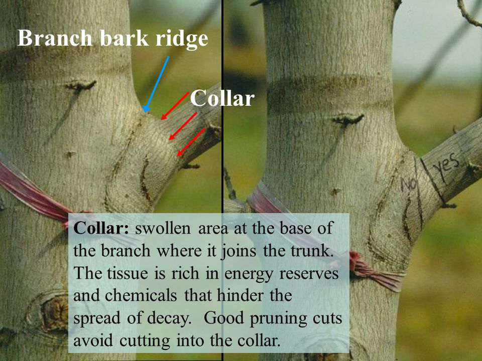 Branch bark ridge Collar
