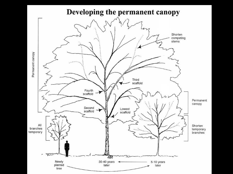 Here is an illustration summarizing the pruning program during the first 30 years or so after planting.