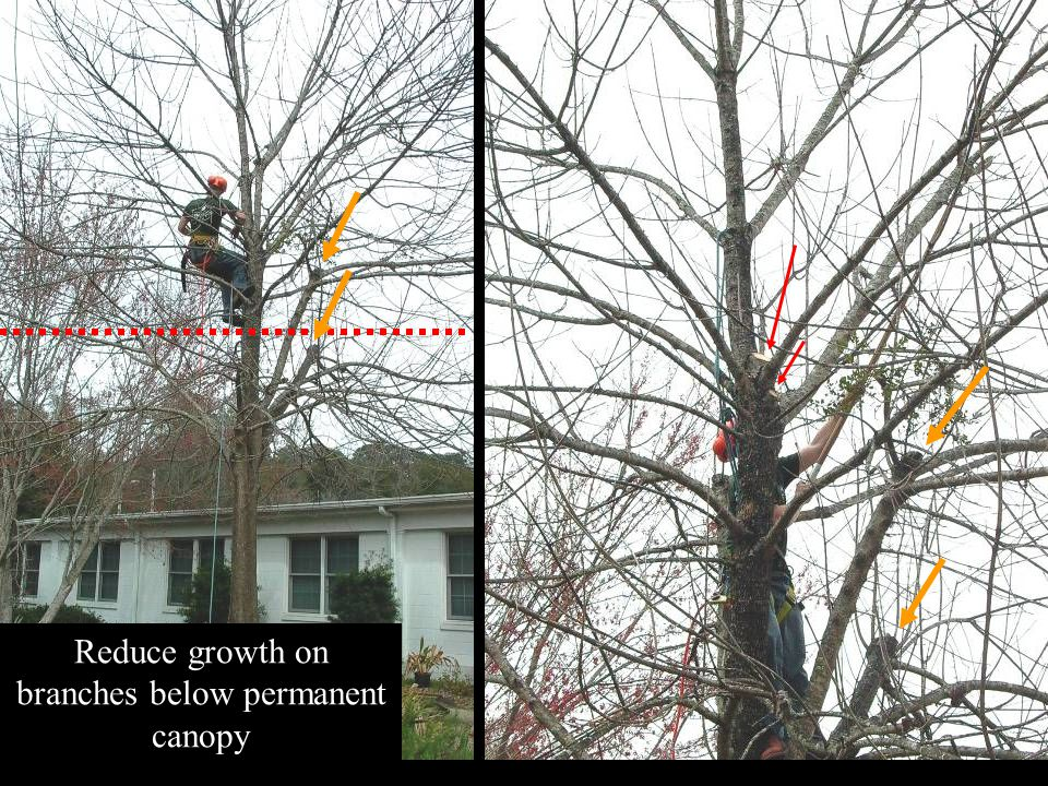 Reduce growth on branches below permanent canopy