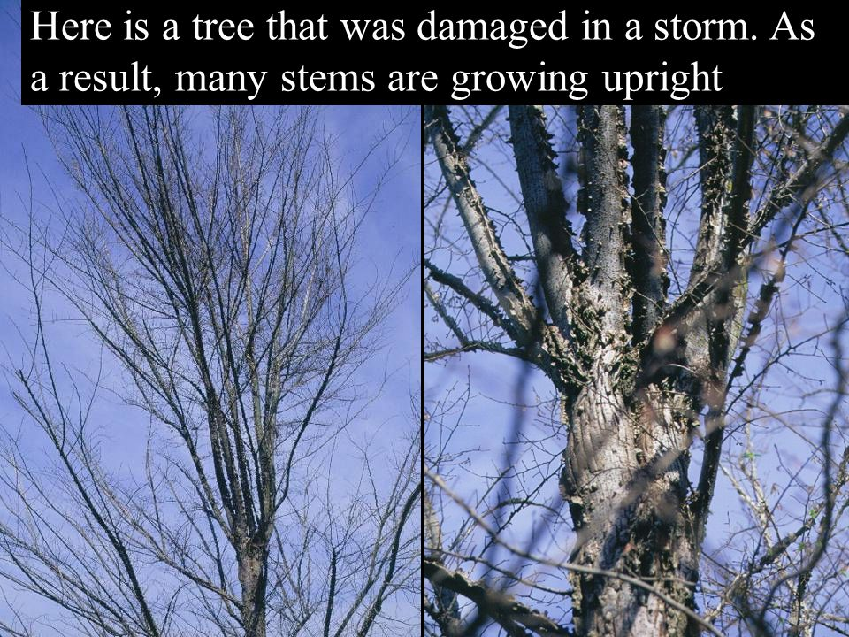 Here is a tree that was damaged in a storm