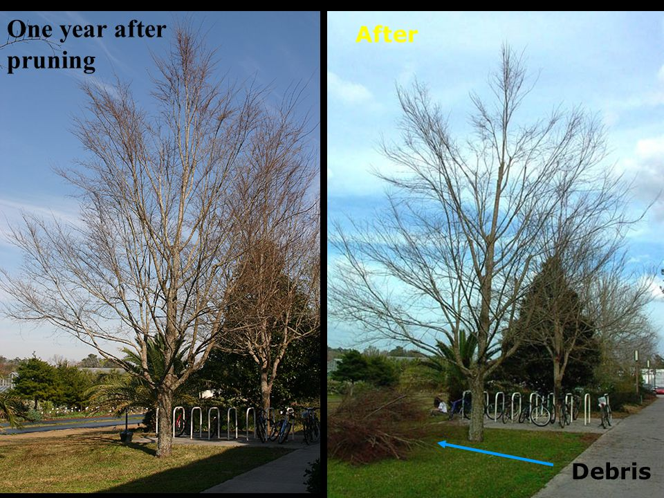 One year after pruning Before - year 8 After Debris