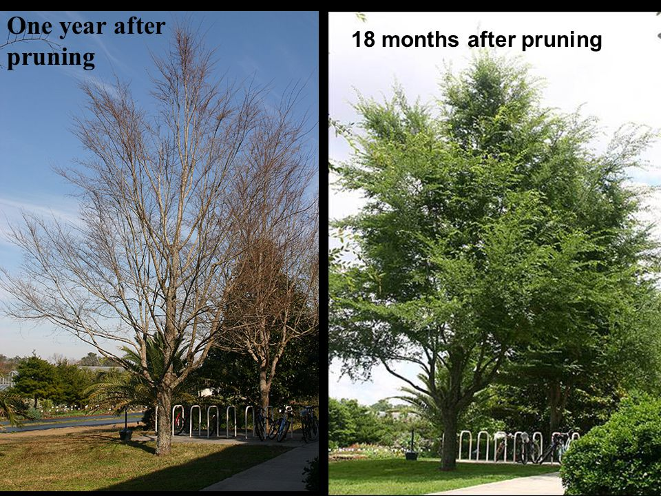 One year after pruning Before - year 8 18 months after pruning